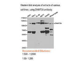 DNMT3A Polyclonal Antibody