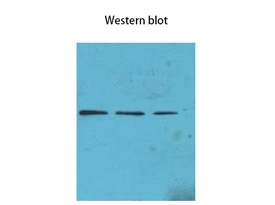 H3K4me3 Mouse Monoclonal Antibody