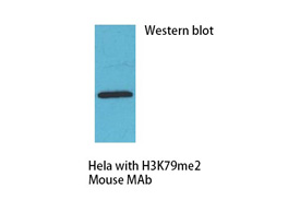 H3K79me2 Mouse Monoclonal Antibody